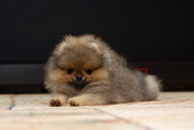 Pomeranian puppy from Malpom kennel